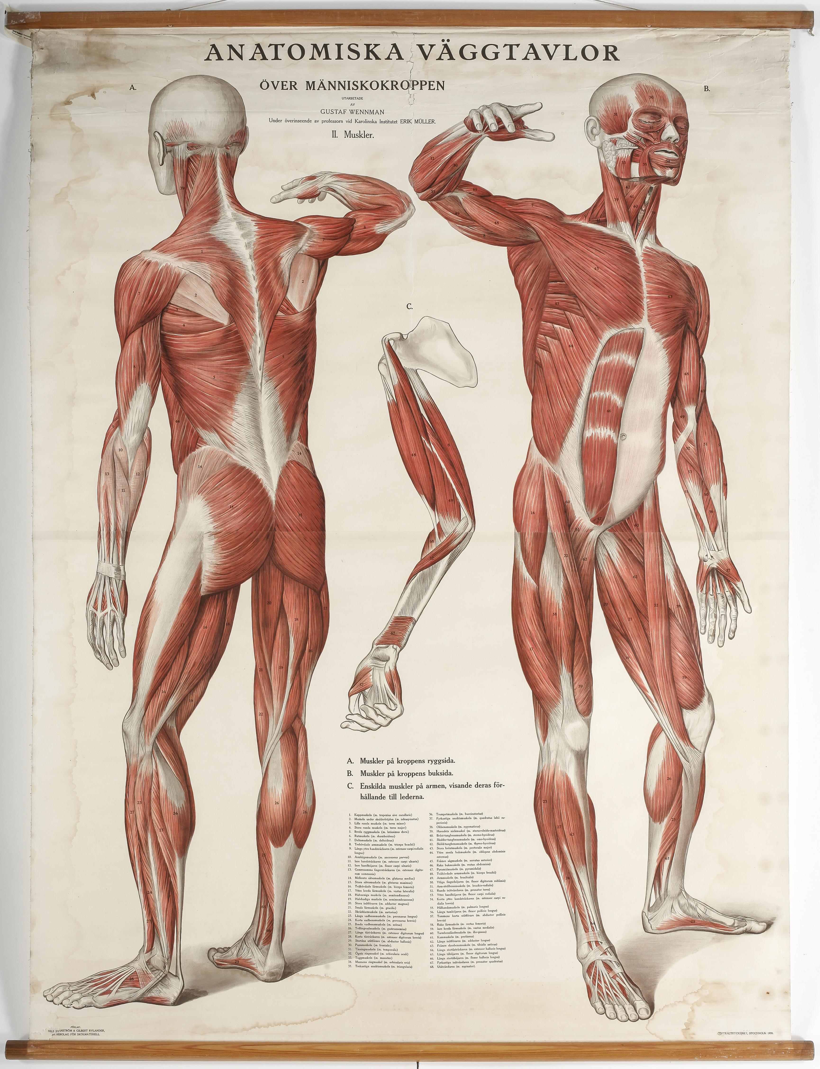 File:Gustaf Wennman-Anatomical poster.jpg - Wikimedia Commons