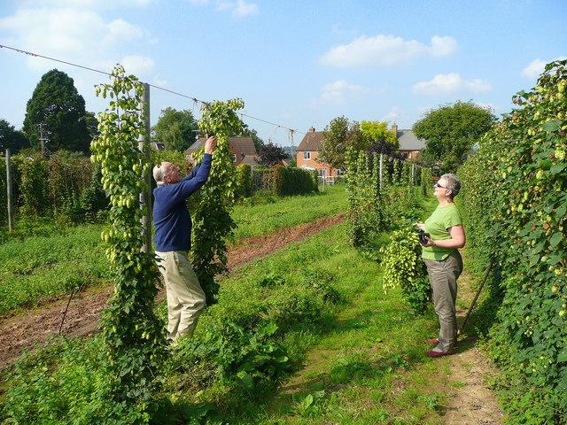 File:Harvesting hops by hand - geograph.org.uk - 968434.jpg