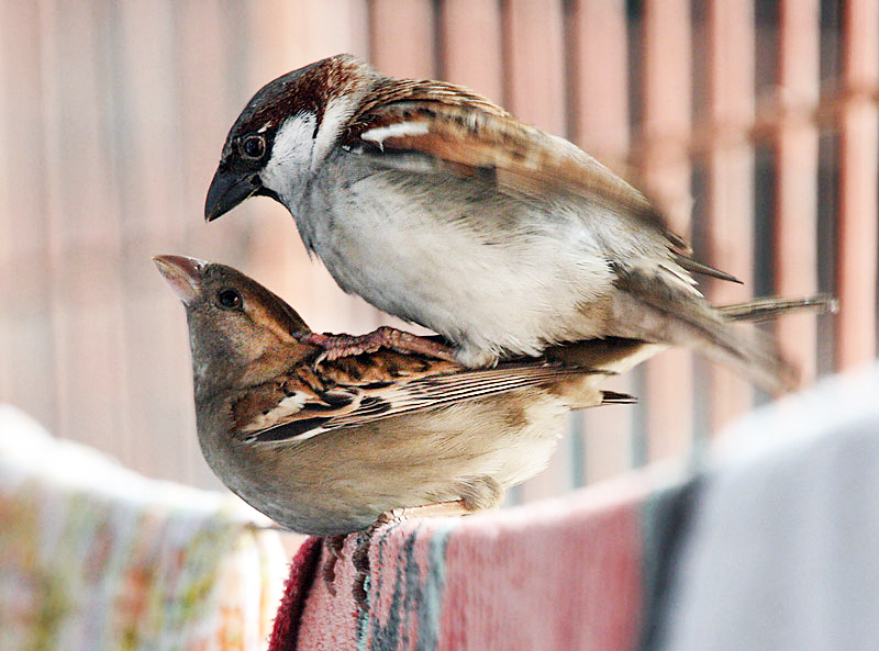 How do birds mate - photo#11