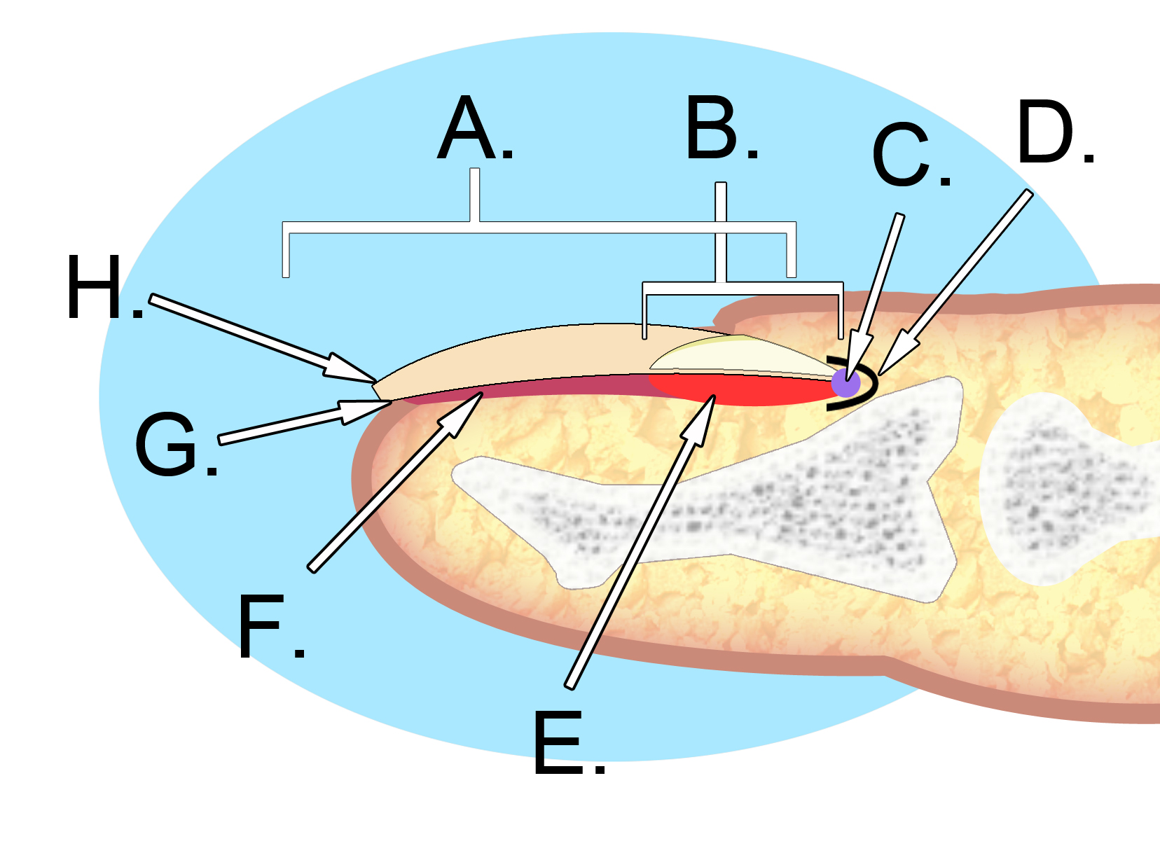 File:Human nail anatomy.jpg - Wikimedia Commons