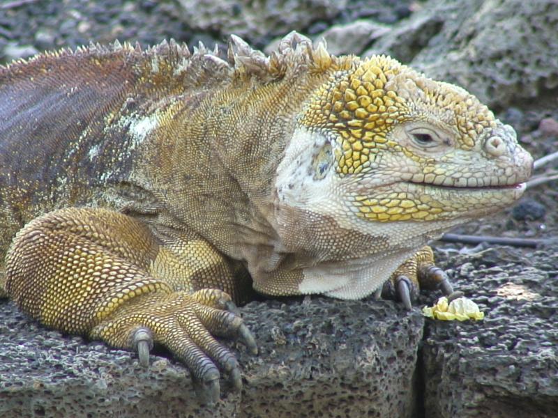 File:Iguane terrestre des Galapagos.jpg