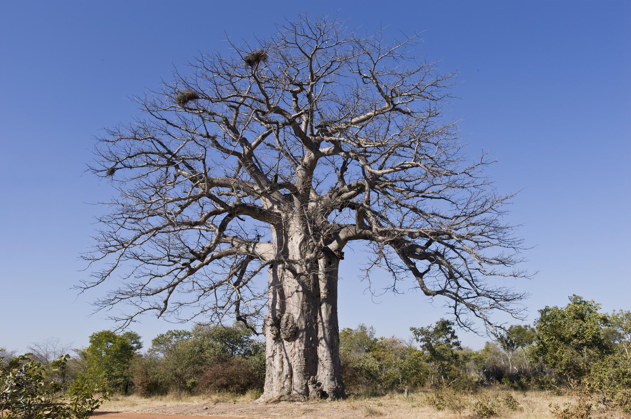 Photo of Imbondeiro Tree
