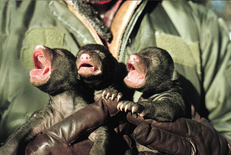 Description inspecting newborn black bear cubs