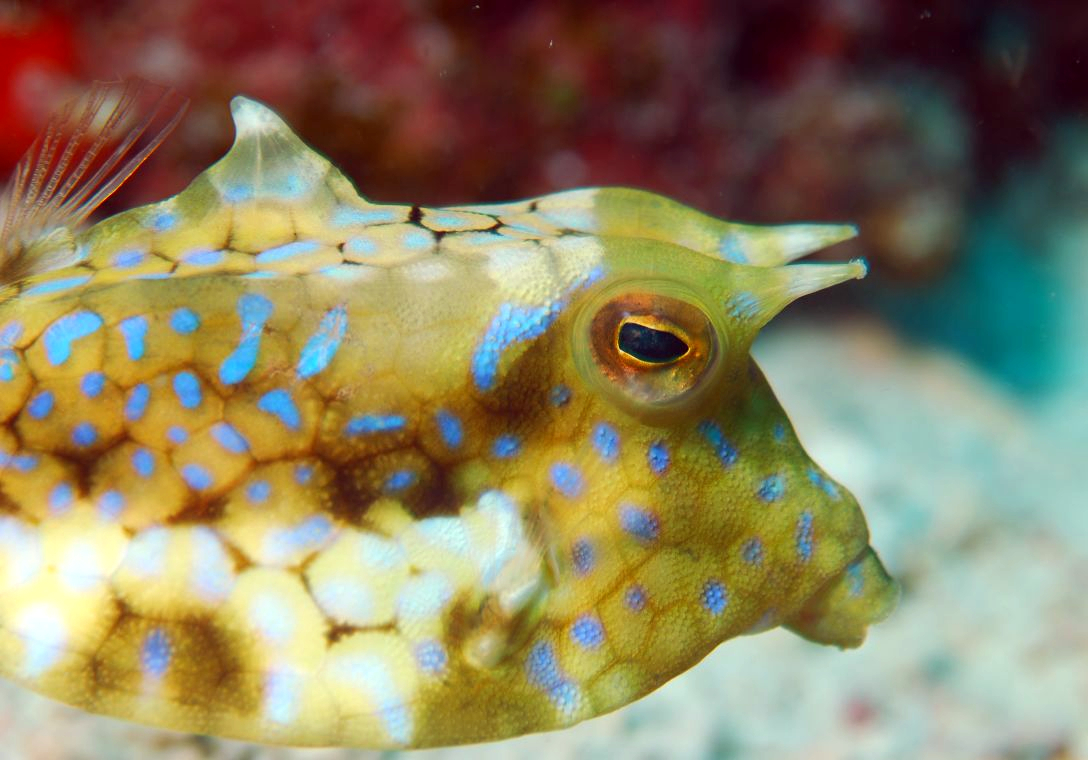 Cow Fish Spotted trunkfish, lactophrys