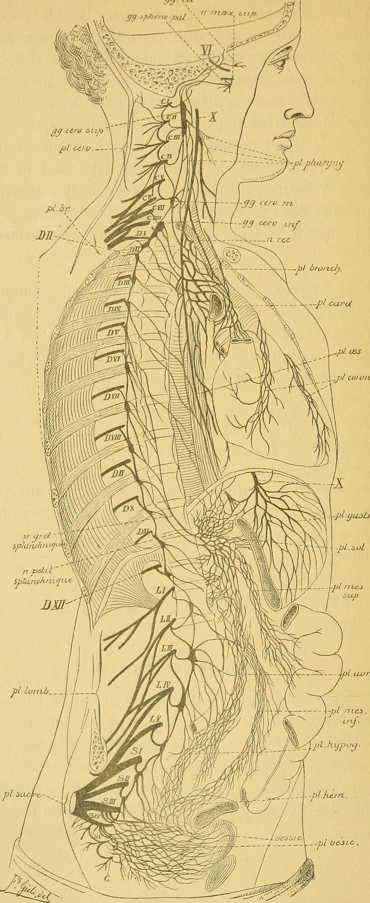 Le système nerveux de l'homme - leçons professées à l'Université de Louvain (1893) (14742486906).jpg