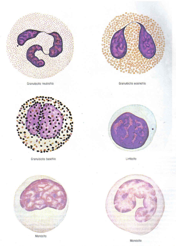 eritrocitos recuento de reticulocitos leucocitos y: