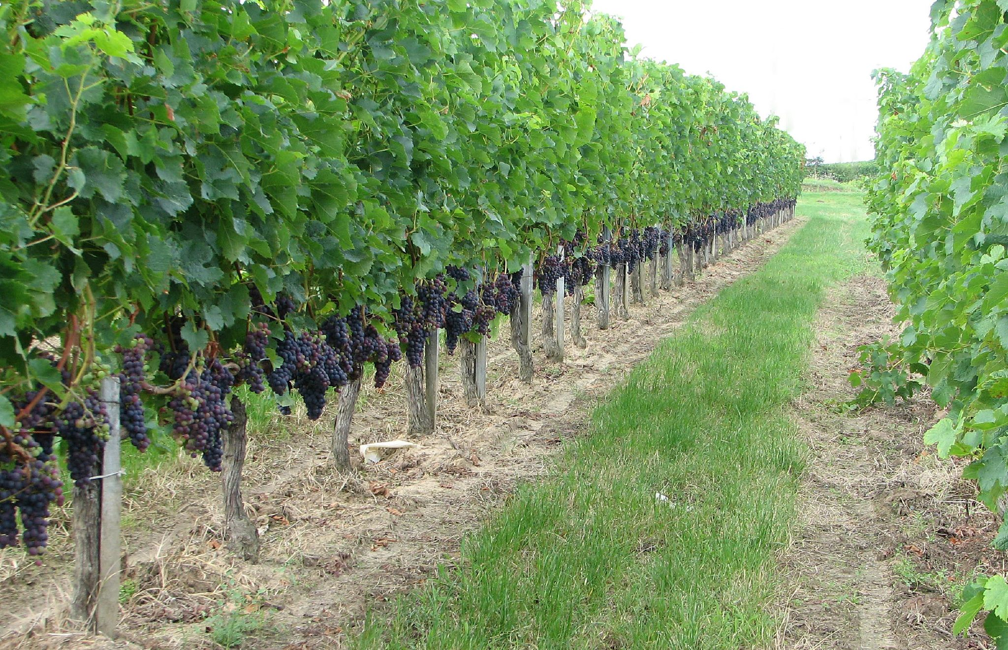 Vineyard - Wikipedia