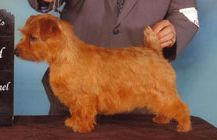 Image illustrative de l'article Norfolk Terrier