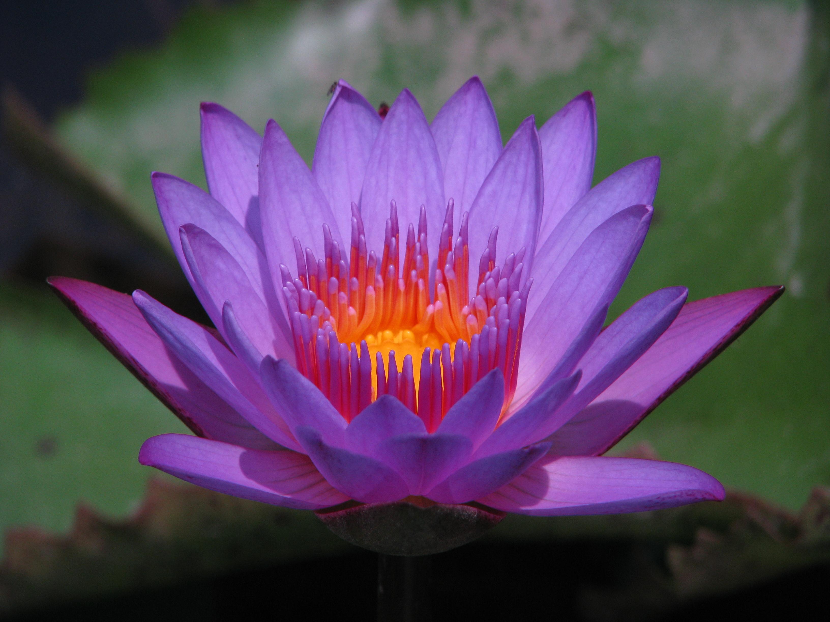 sp13ethnobotany Blue Lotus