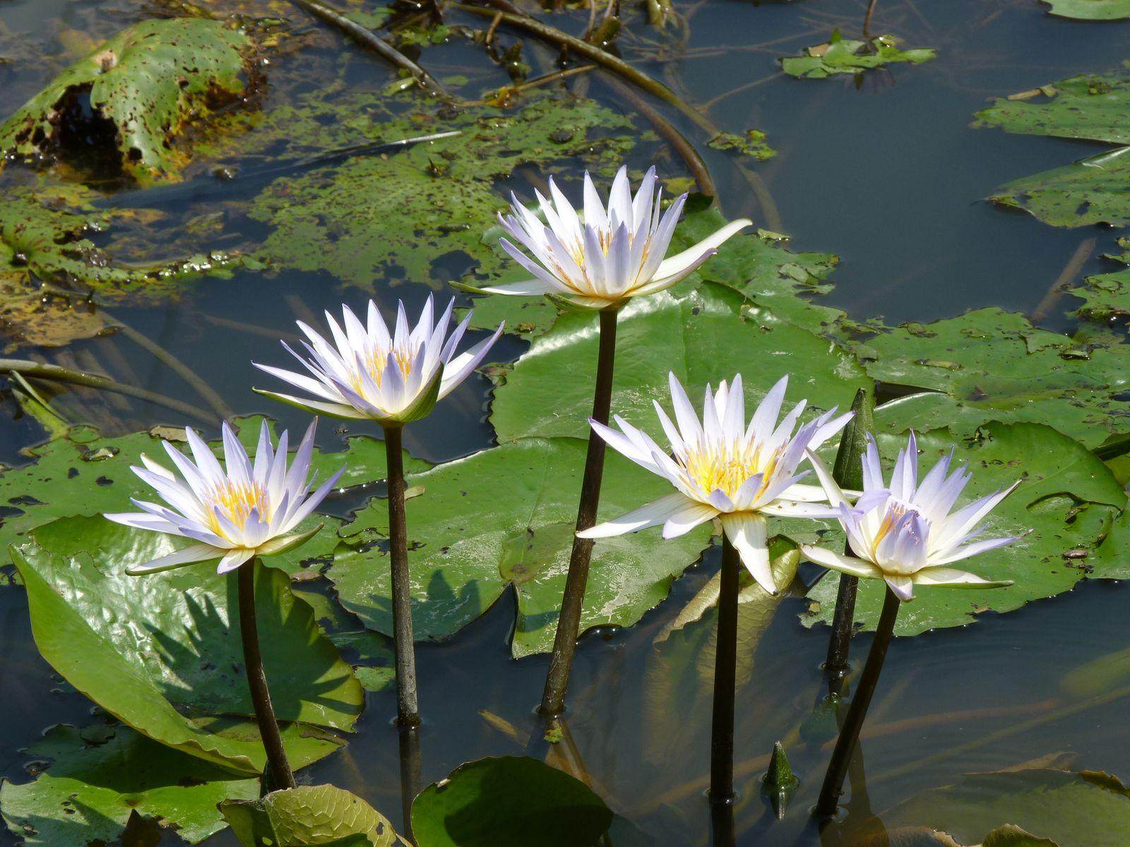 Nymphaeaceae Wikipedia