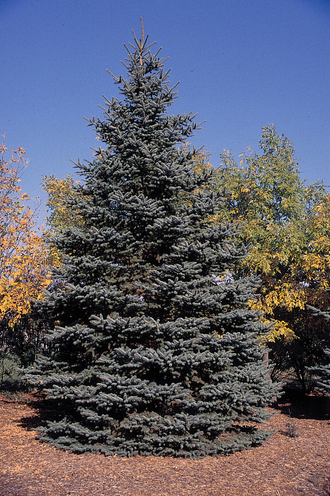 Colorado blue spruce trees do not need to be pruned, but they can be pruned if you wish to promote denser foliage. Prune off half of the fresh growth on each candle (that is, the tip at which branch growth occurs each year) in spring. Make sure to water young plants during dry spells.
