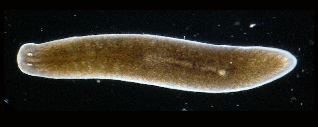 gomba paraziták micéliuma