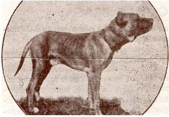 Portuguese Alaunt dog Bocanegra. Cão Alão português
