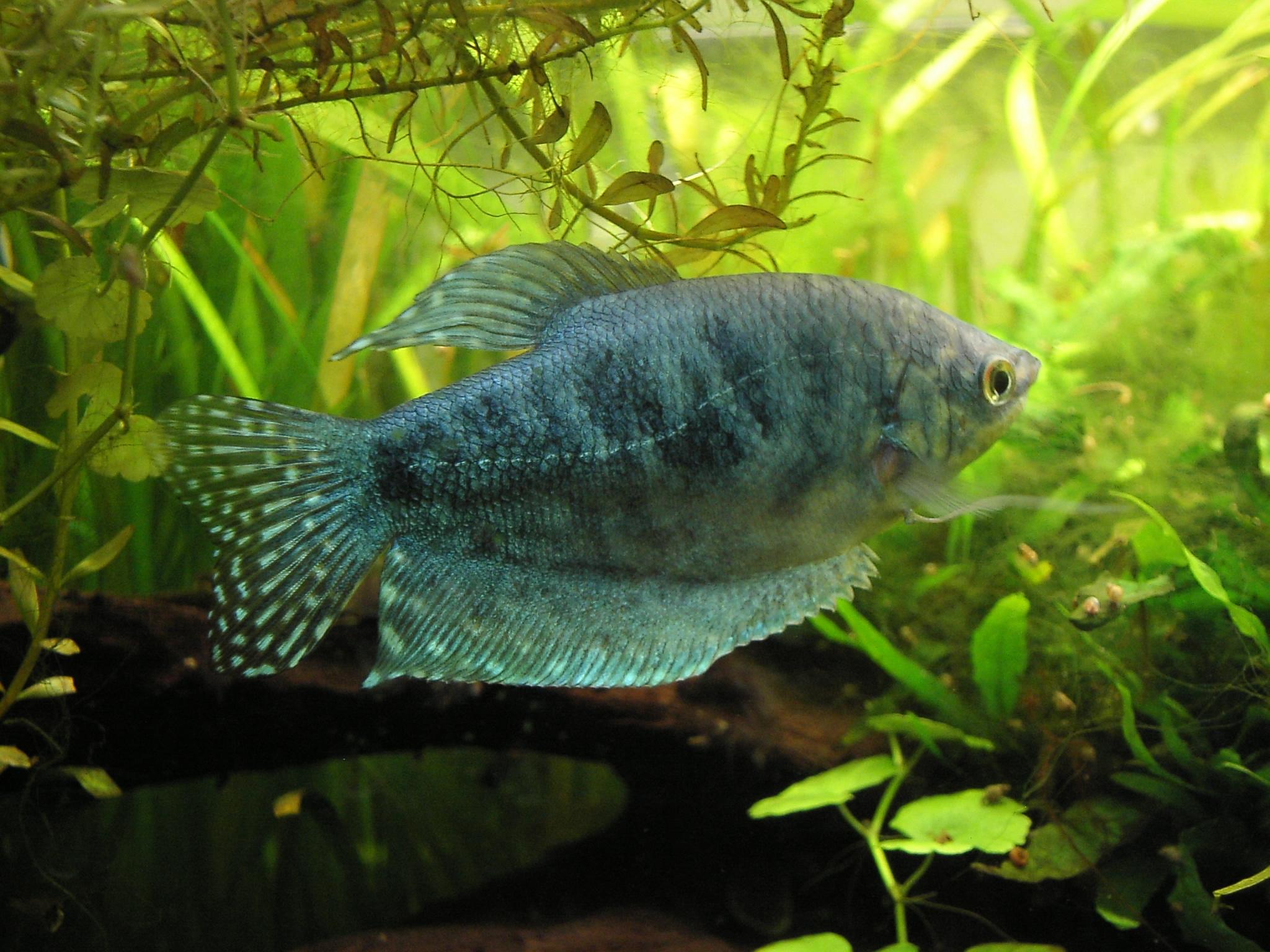 5313e4ef49949f Утримання в акваріумі[ред. | ред. код]