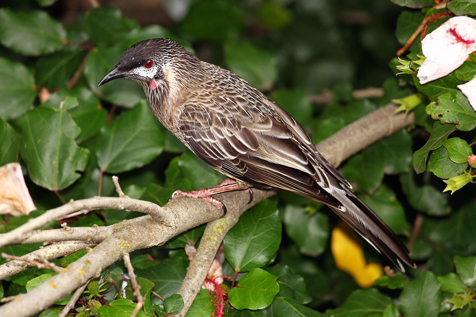 Http Commons Wikimedia Org Wiki File Red Wattle Bird Jpg