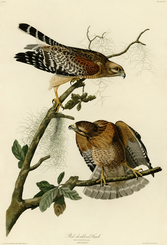 Kurogan clan Hawk Summons(WIP) Red-shouldered_Hawk_(Audubon)