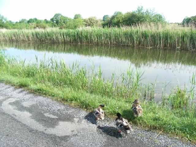 Royal Canal and Ducks Near Ballynacarrigy, Co. Westmeath - geograph.org.uk - 831665