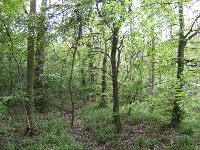 Salcey Forest in mid-spring - geograph.org.uk - 422628