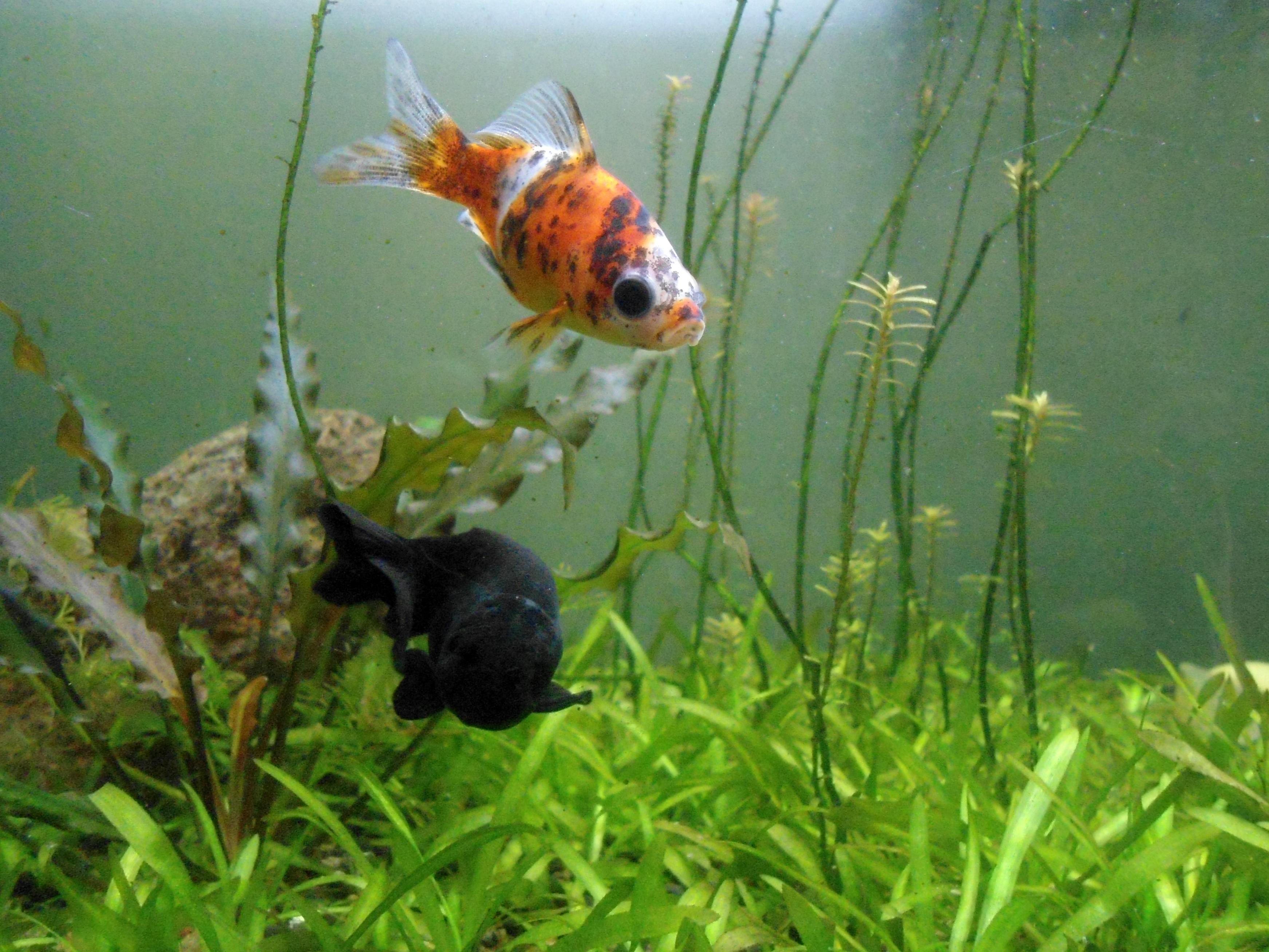 File shubunkin goldfish and black fish at meenalokam jpg for Shubunki fische