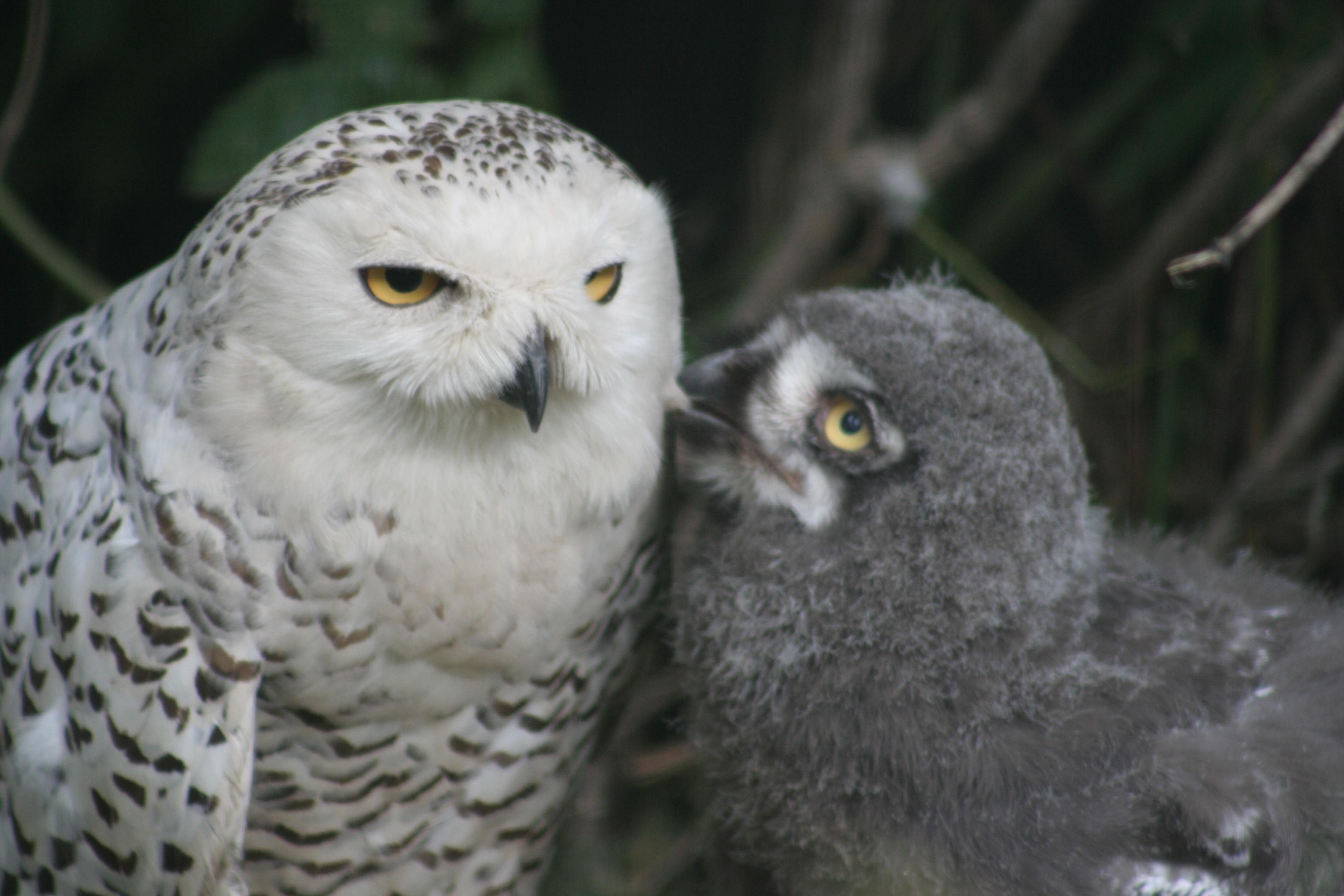 Snowy owl cramlington - 15fb