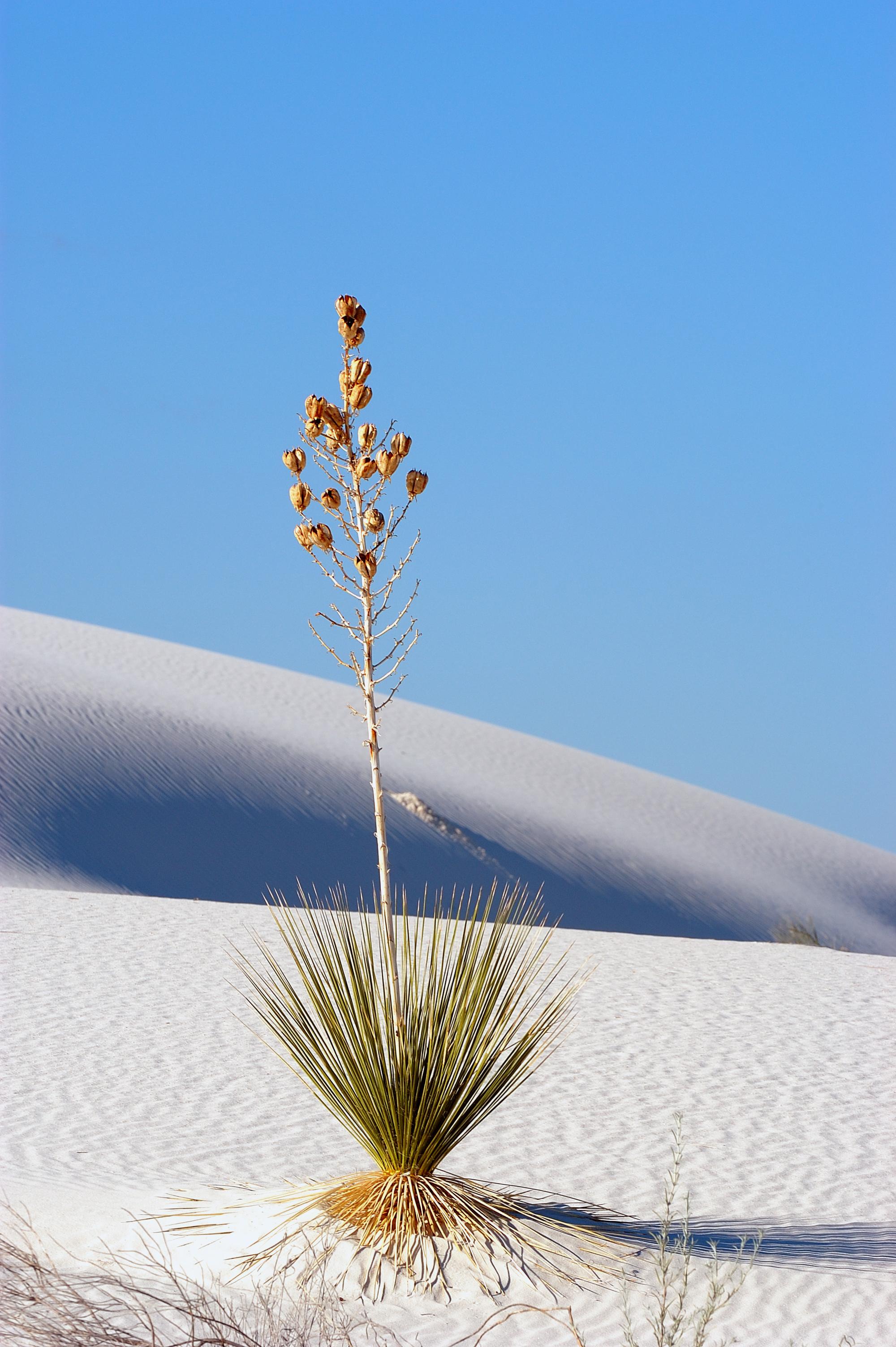 File Soaptree yucca White Sands Wikimedia mons