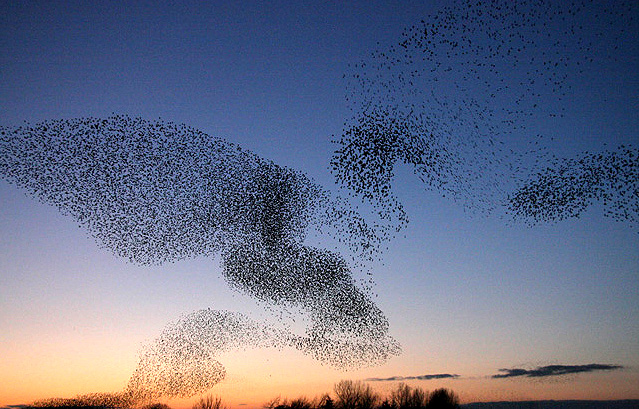 File:Starlings over Gretna - geograph.org.uk - 1069349.jpg