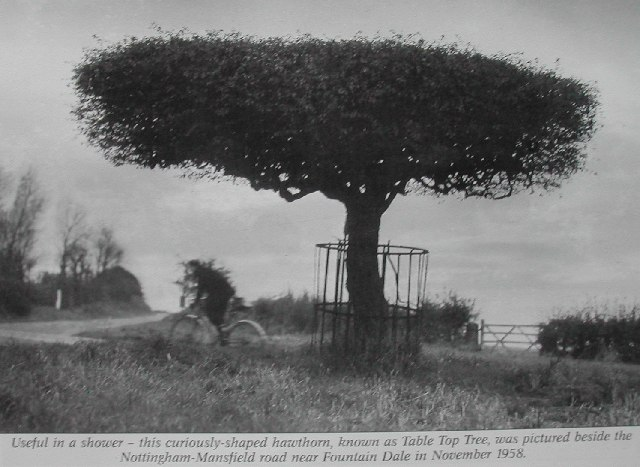 Image result for Table Top Tree blidworth