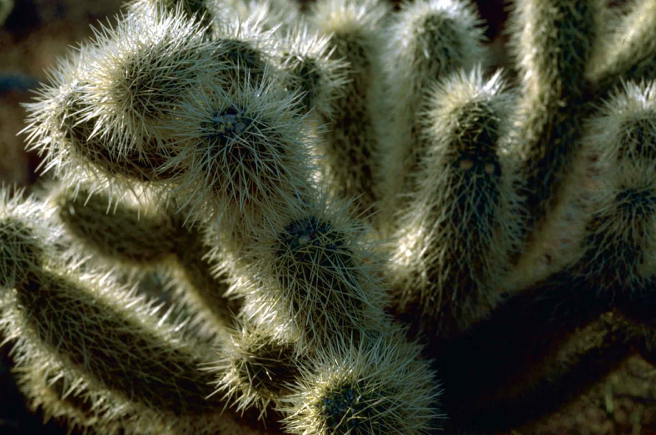 File:Teddy bear cholla cactus macro image.jpg - Wikimedia Commons