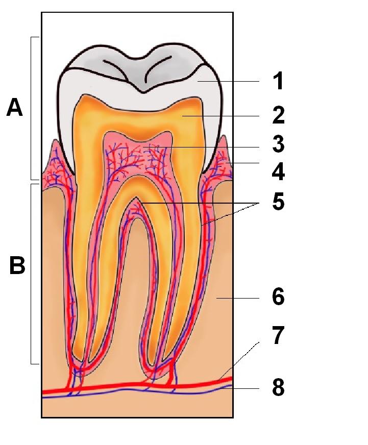 Dentina - Wikipedia, la enciclopedia libre