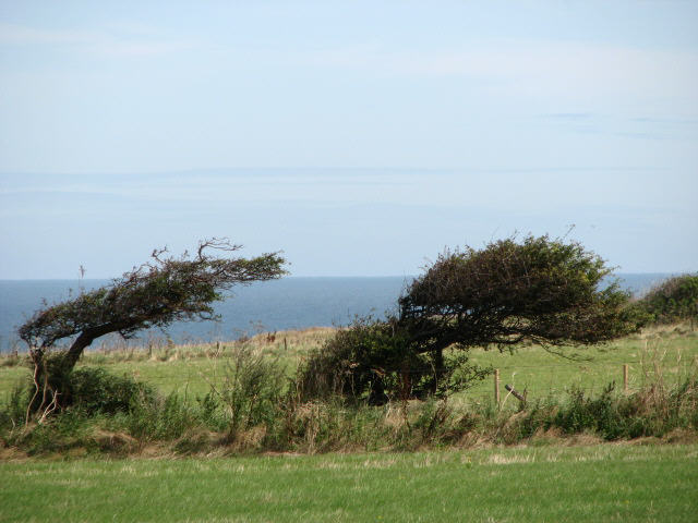 File:Trees bent from the sea winds - geograph.org.uk - 540691.jpg