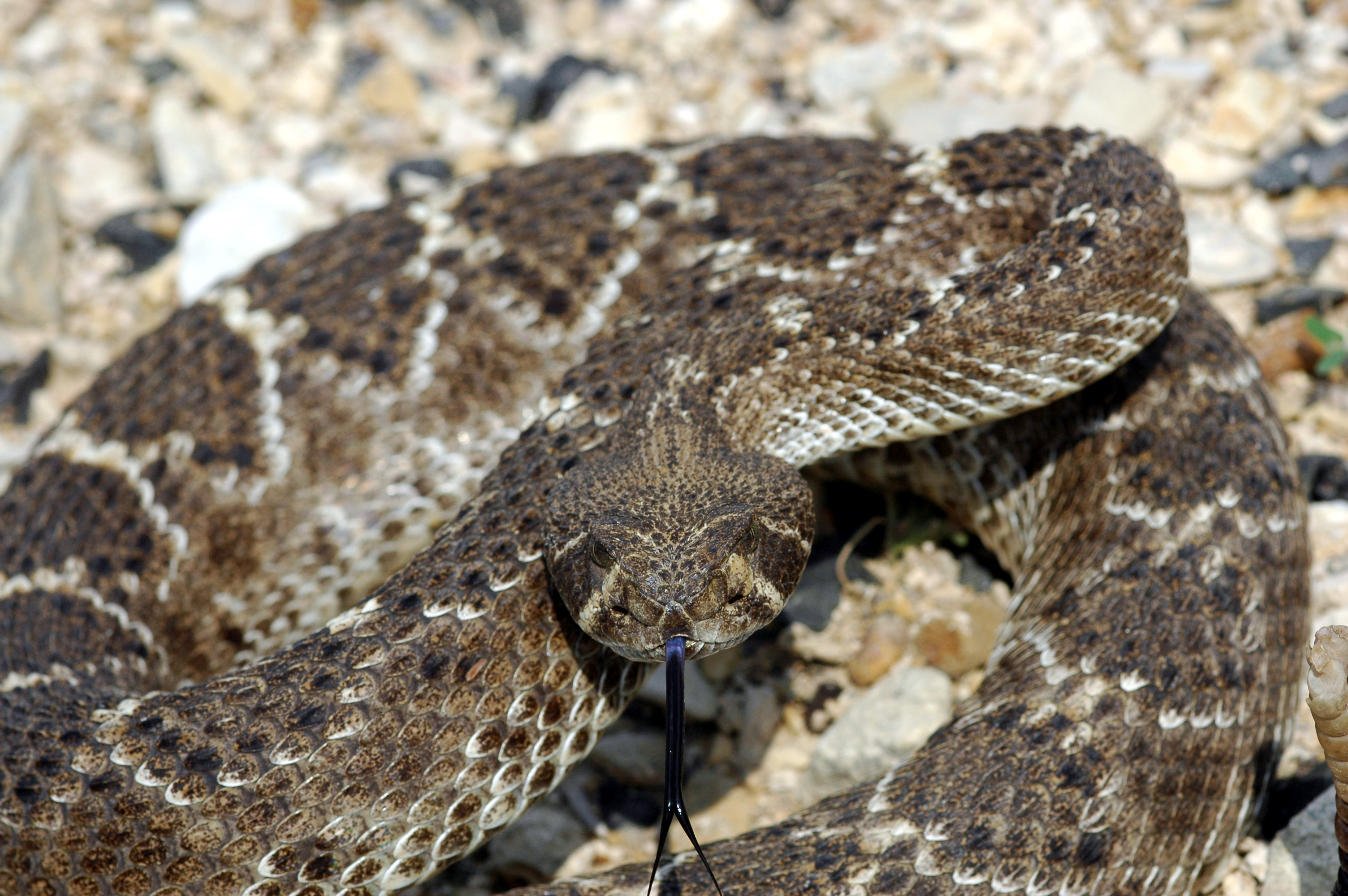 diamondback rattlesnakes Hello, my name is orry martin: the texas snake hunter this documentary is about the western diamondback rattlesnake (crotalus atrox) this snake has such an undeserved reputation for being a monster and is typically killed on site by most people this video shows how unaggressive they are and.