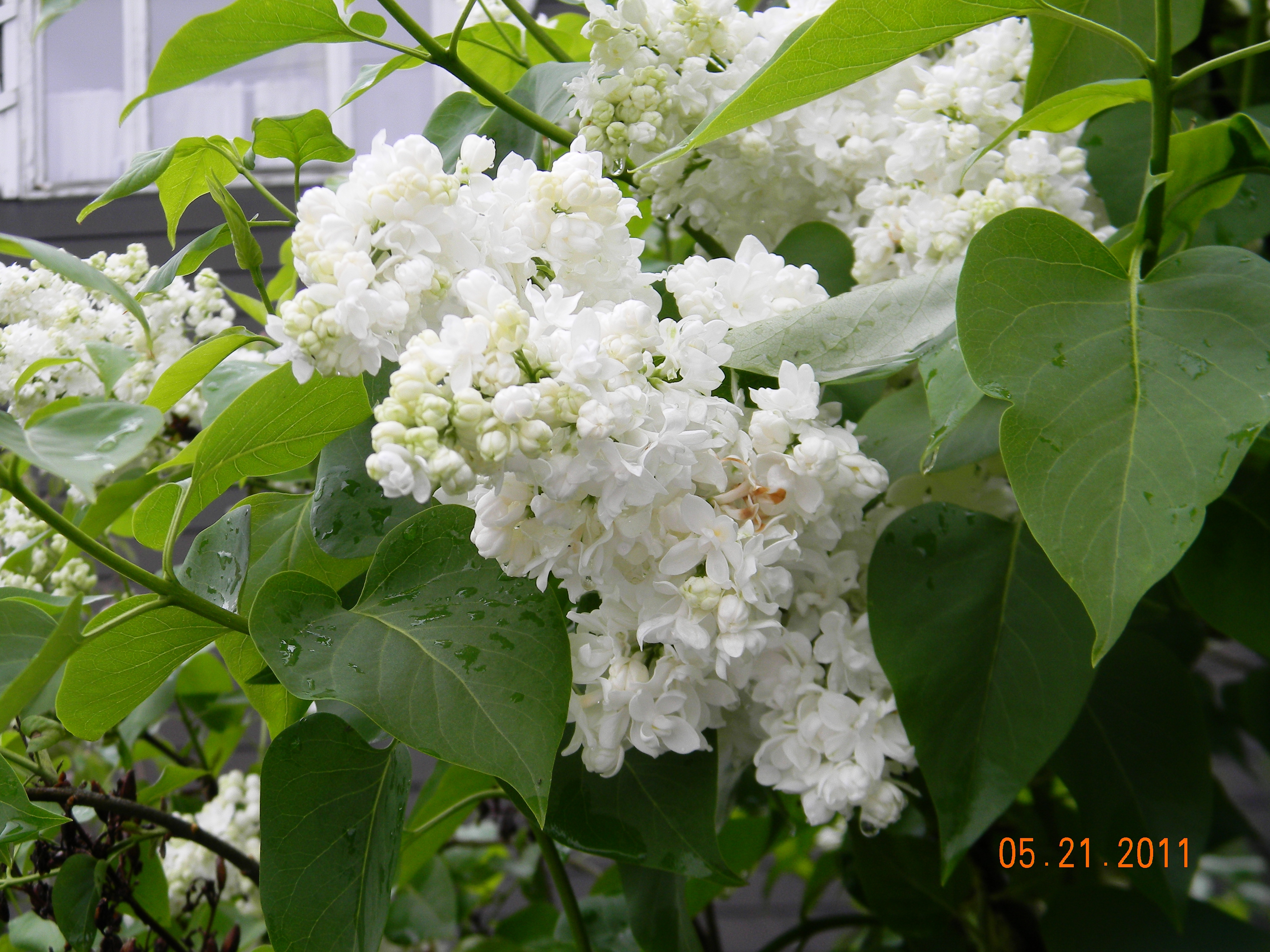 File White Lilacs Jpg Wikimedia Commons