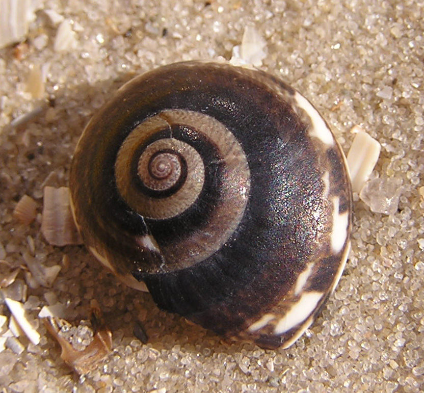 File:Ab mollusca 29.jpg - Wikimedia Commons: https://commons.wikimedia.org/wiki/file:ab_mollusca_29.jpg