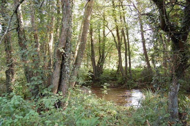 file alder trees  allen river  damerham  hampshire