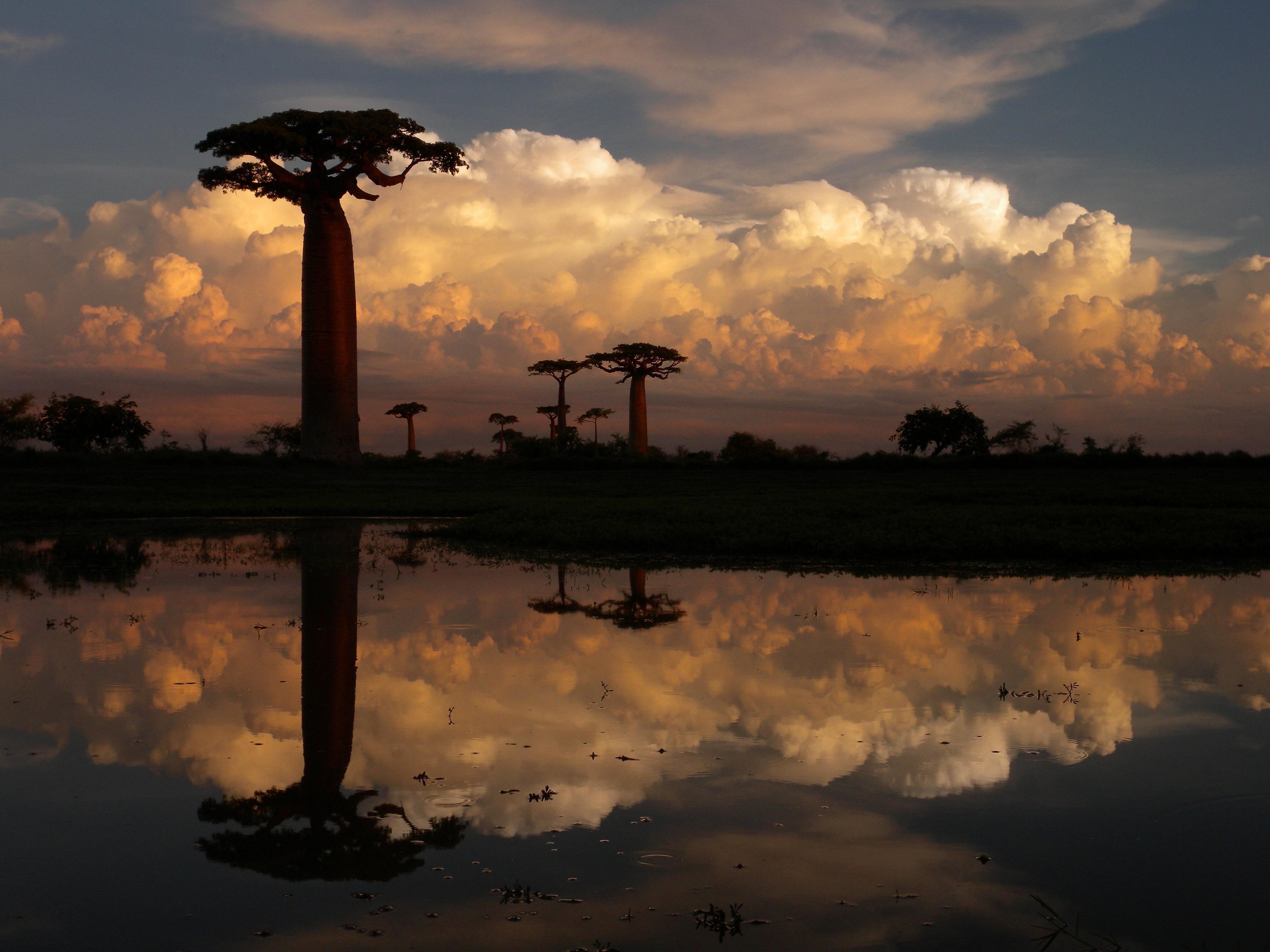 File:Allée des Baobabs near Morondava, Madagascar ...
