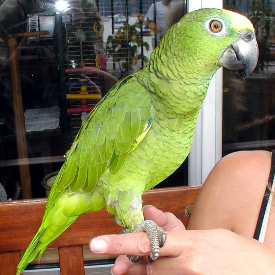 اجمل صور الببغاء  Amazon.parrot.arp
