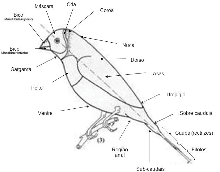 File:Anatomia Diamante Gould-Erythrura Gouldiae.png - Wikimedia Commons