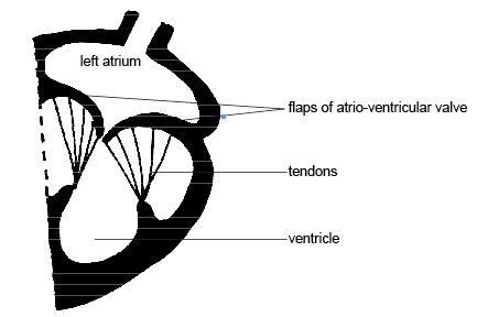 Anatomy and physiology of animals Atrio-ventricular or parachute valves.jpg