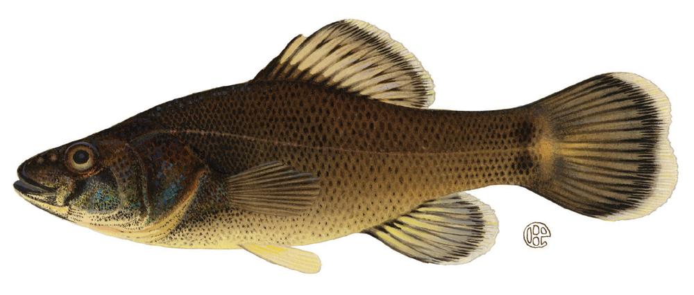 Spearfishing for tx non game fish aka carp for Nysdec fishing license