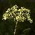 Apiaceae.png