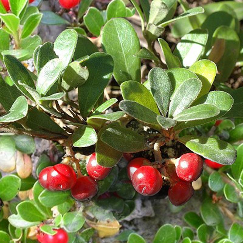 File:Arctostaphylos uva ursi.jpg - Wikimedia Commons