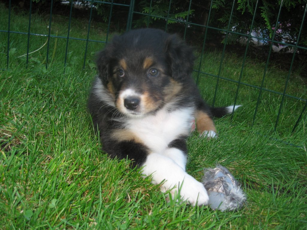 File Aussie Puppy Tricolour Jpg Wikimedia Commons