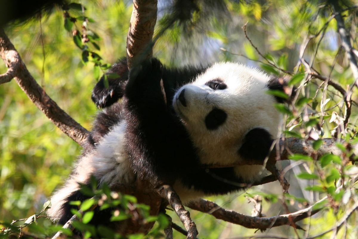 Baby Panda Photos - Baby and Funny Animal Photos