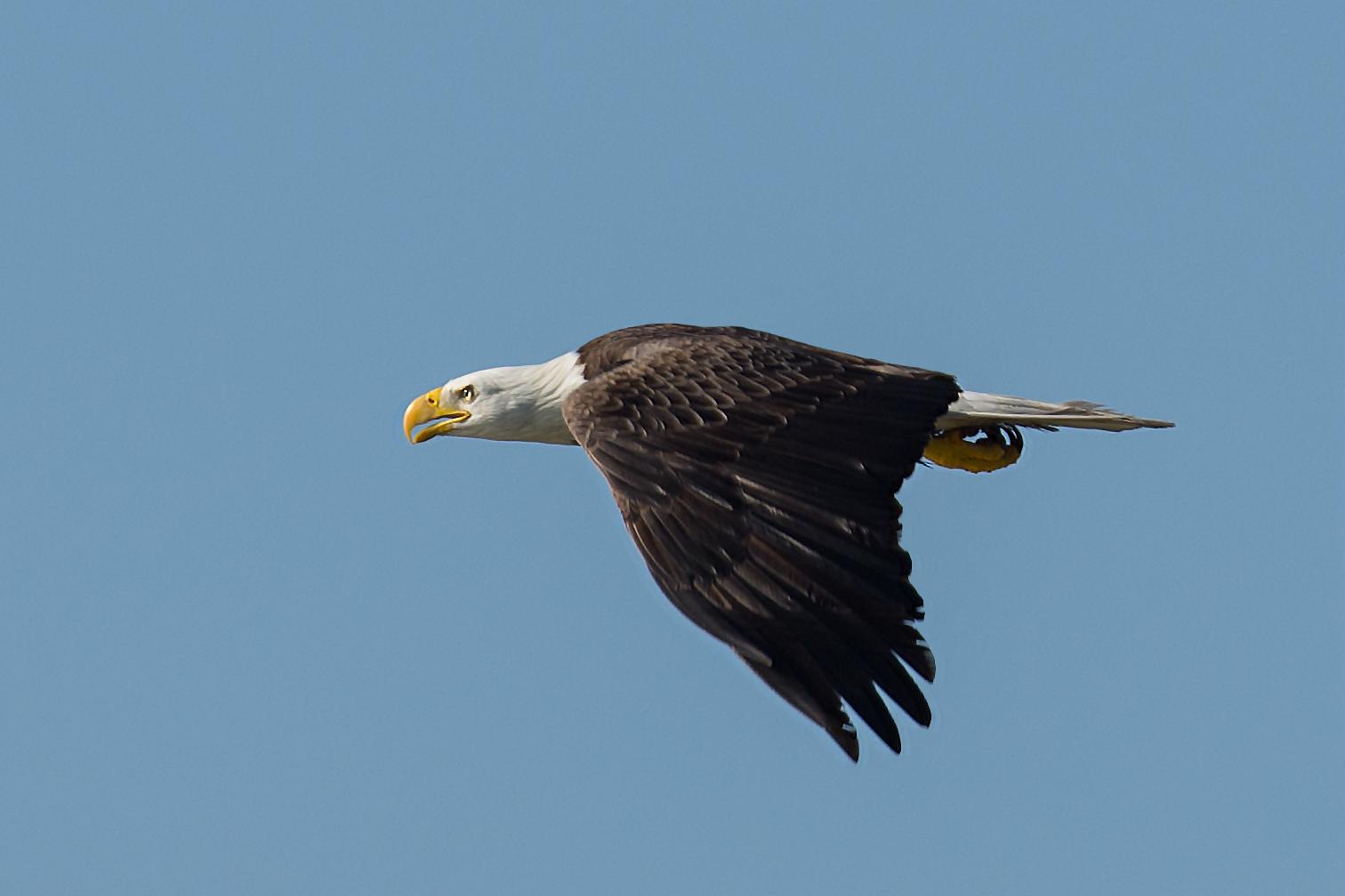 File:Bald eagle flat out (22979176781).jpg - Wikimedia Commons
