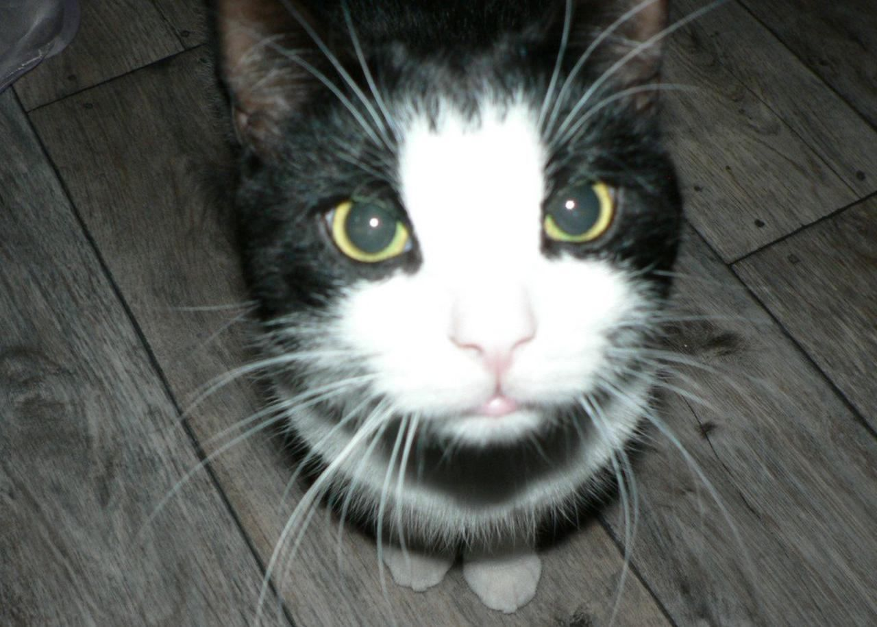 Cats that look like Chooch Black And White Cats