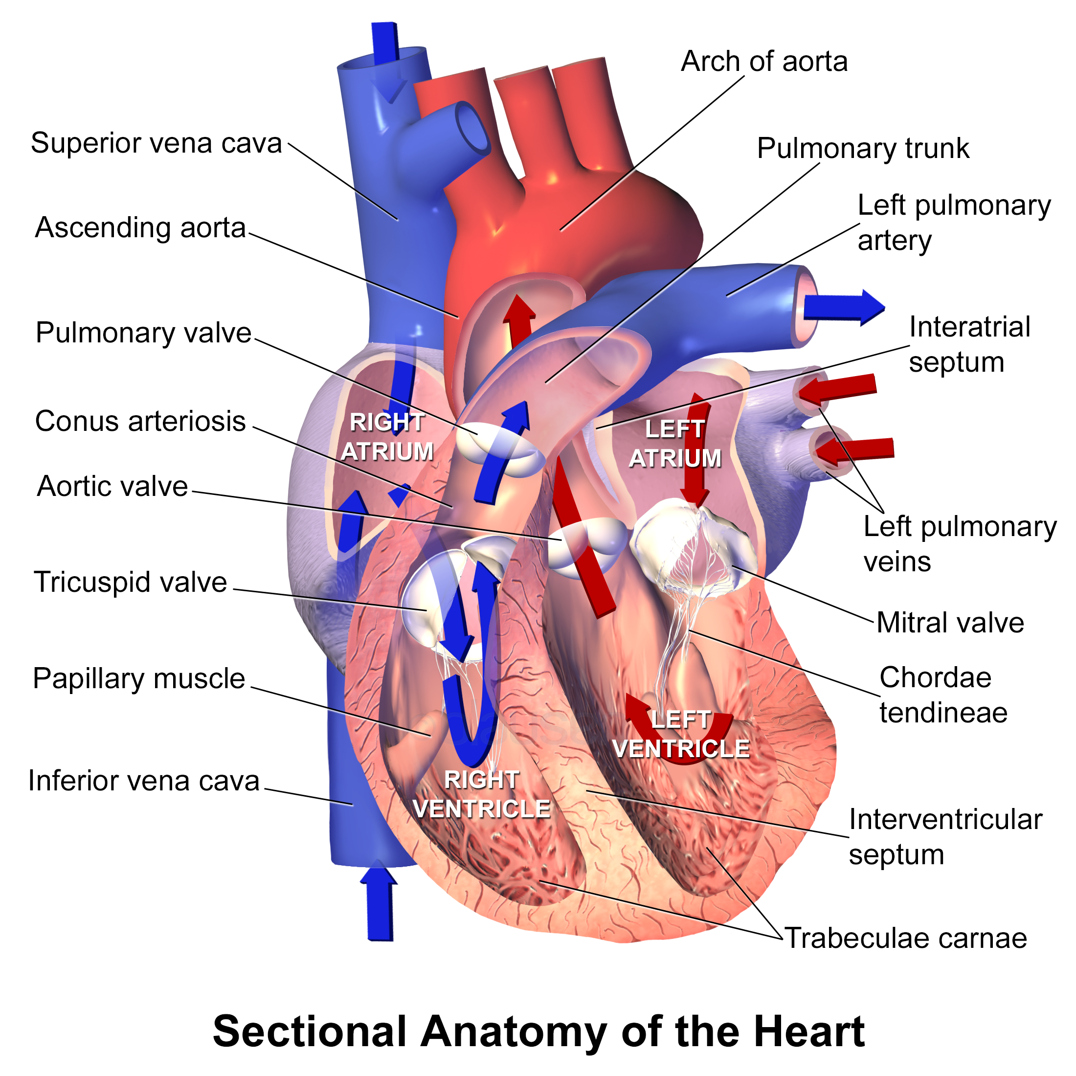 Where Is Heart Located In Our Body With Pictures