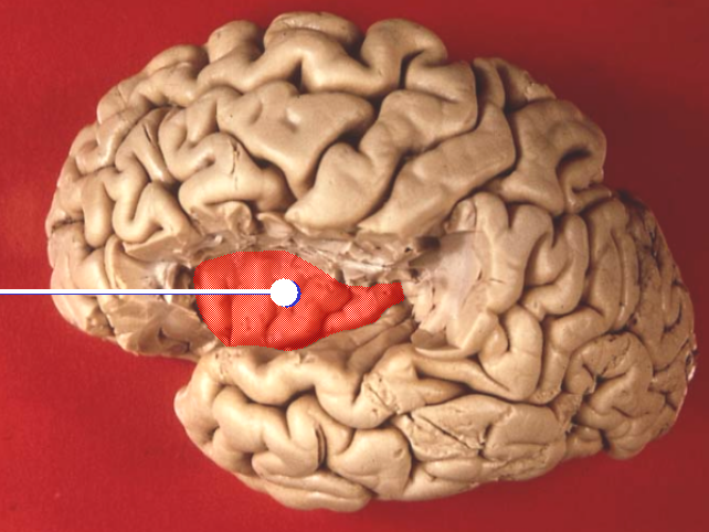 lobes of brain. File:Brain lobes - insular