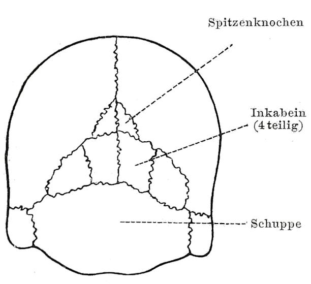 Interparietal bone - Wikipedia