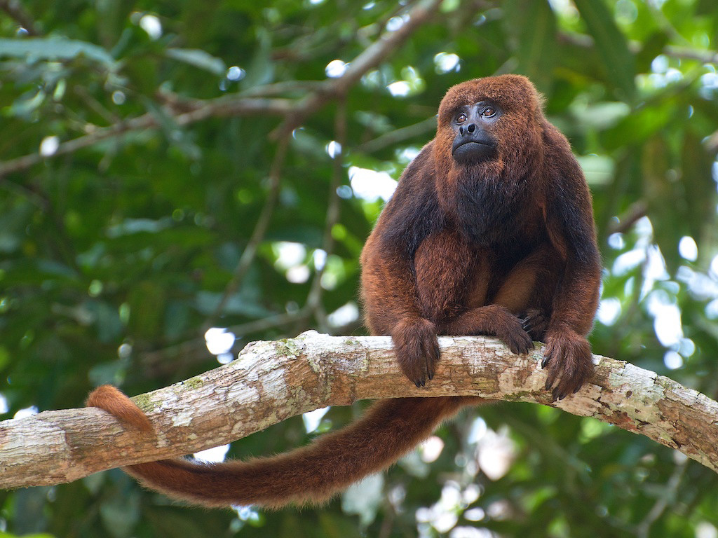 brown howler wikipedia