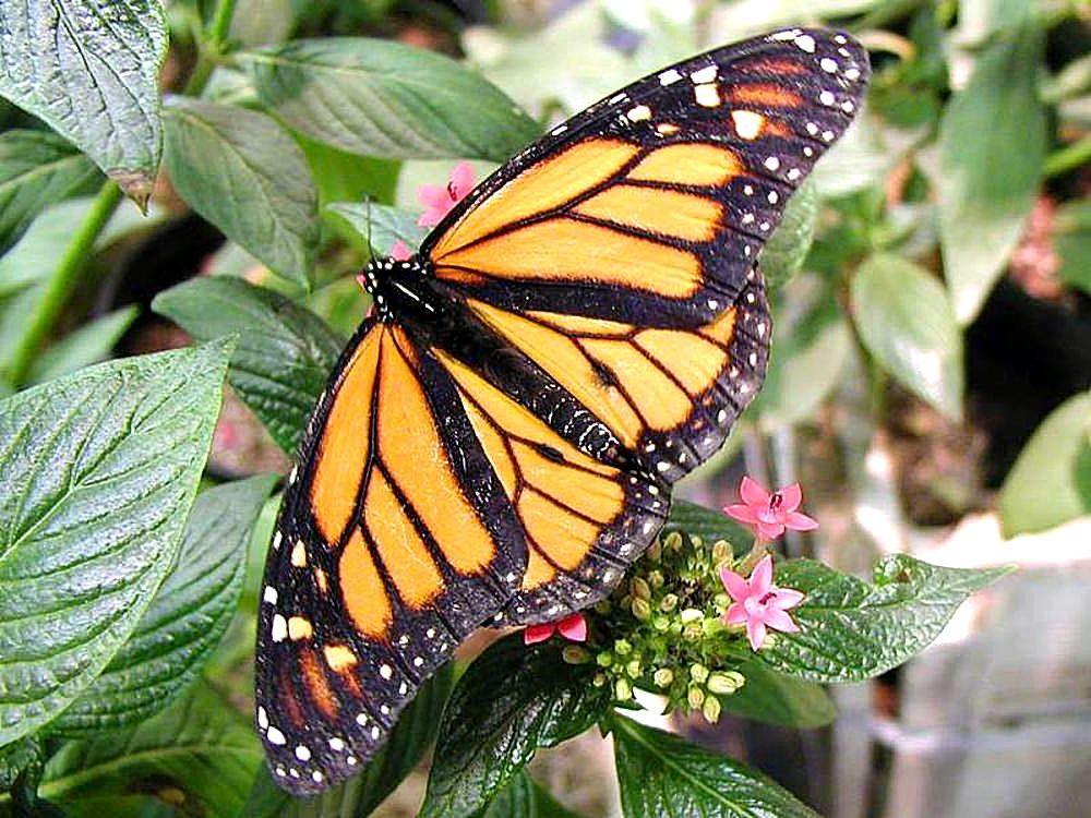 File butterfly butterflies flowers wikimedia for Butterfly on flowers